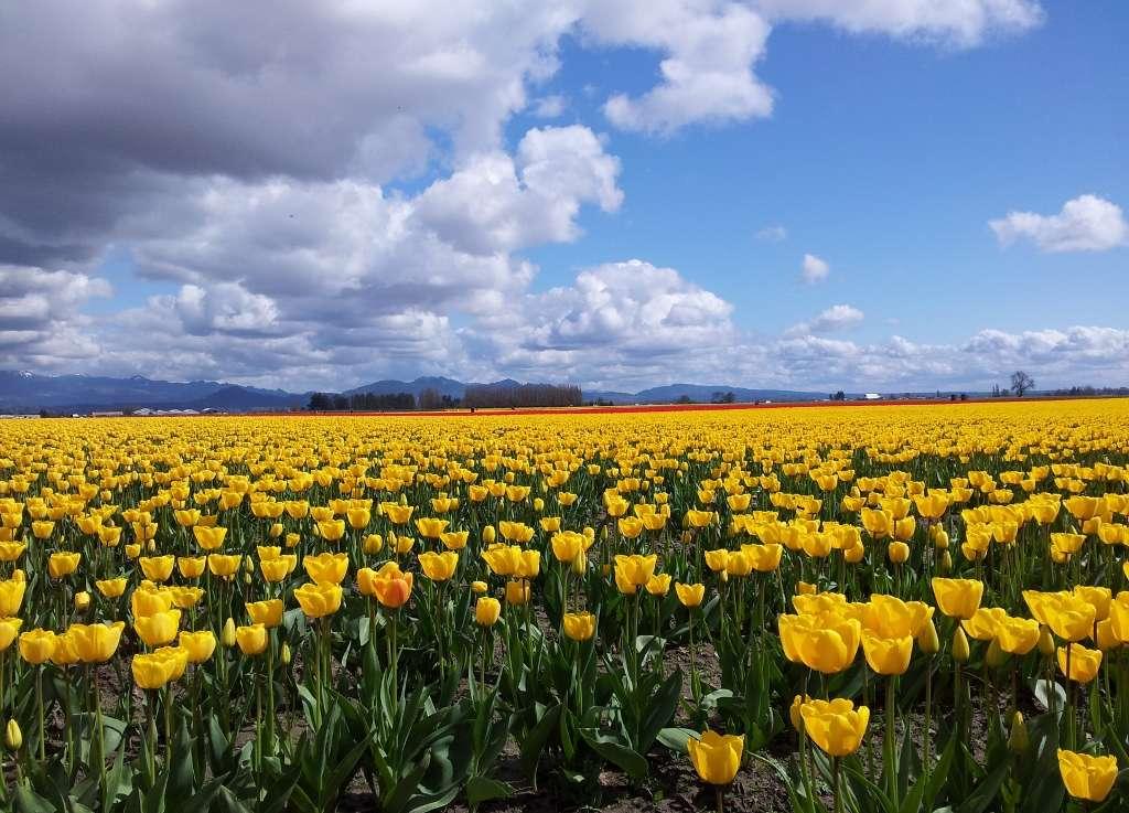 Skagit Valley Tulips, Bethany Dailey, 20130411 (1024x737)